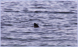 Basking Sharks sighted at Whiting Bay | Isle of Arran | Viewbank Guest House,  B&B, Bed & Breakafst Accomodation