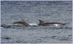Dolphins at play in Whiting Bay | Viewbank House, Isle of Arran – Whiting Bay
