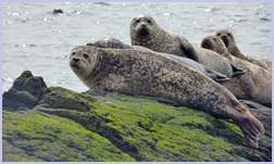 Seals basking on the rocks at Kildonan | Isle of Arran | Viewbank Guest House,  B&B, Bed & Breakafst Accomodation