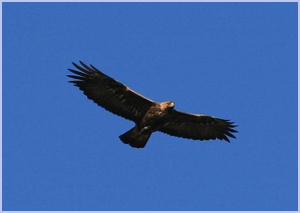Golden Eagle over Lochranza | Isle of Arran – Whiting Bay – Viewbank House